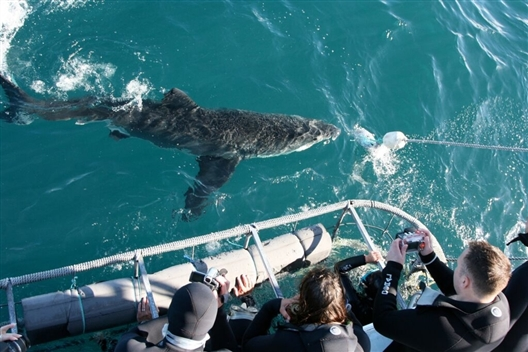 Shark Cage Diving - Gansbaai